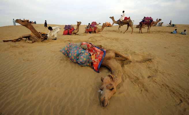 Camels rest on sand dunes, Thar